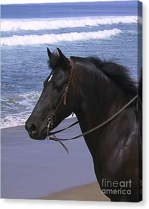 Morgan Head Horse On Beach Canvas Print