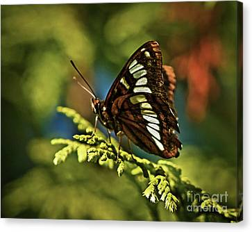 Mormon Metalmark Canvas Print by Robert Bales