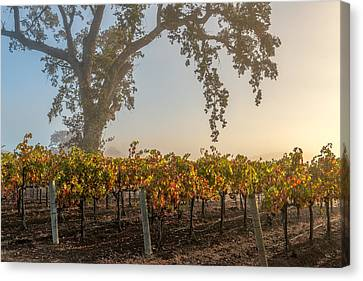 Grape Vines Canvas Print - Morning Attraction by Joseph Smith