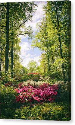 Morning Azaleas Canvas Print by Jessica Jenney