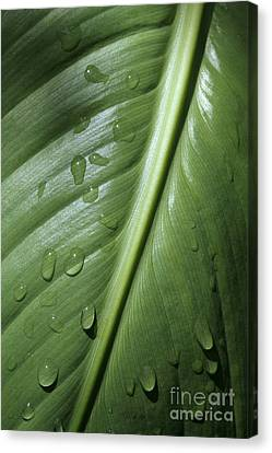 Morning Dew Canvas Print by Jeannie Burleson