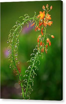 Morning Dew On Orange Flowers Canvas Print by Carol Groenen