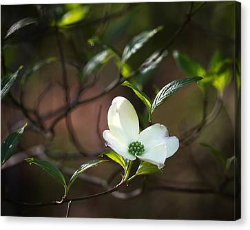 Morning Dogwood At Buffalo River Trail Canvas Print
