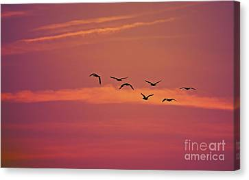 Double-crested Cormorant Canvas Print - Morning Flight.. by Nina Stavlund