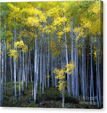 Canvas Print featuring the photograph Morning Forest by The Forests Edge Photography - Diane Sandoval