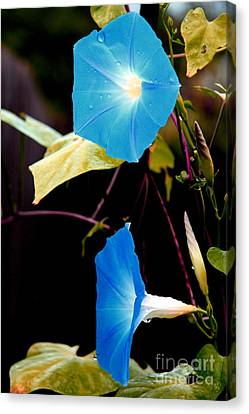 Morning Glories 1 Canvas Print