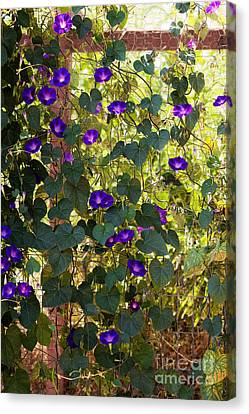 Morning Glories Canvas Print by Margie Hurwich