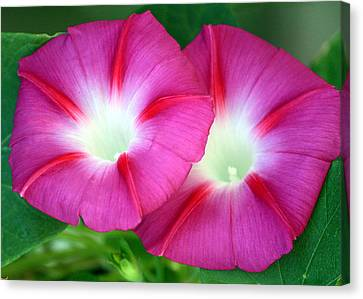 Canvas Print featuring the photograph Morning Glories by Sheila Brown