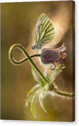 Morning Impression With Pasque Flower And Small Butterfly Canvas Print