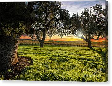 Grape Vines Canvas Print - Morning In Wine Country by Jon Neidert