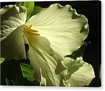 Morning Light - Trillium Canvas Print