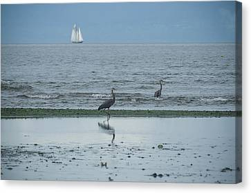 Wading In Shallow Waters Canvas Print