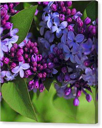 Morning Lilacs Canvas Print by The Forests Edge Photography - Diane Sandoval