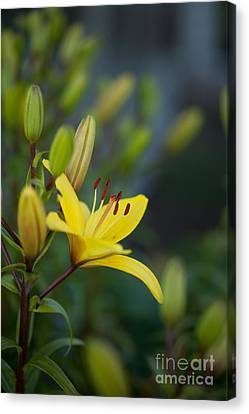 Lilies Canvas Print - Morning Lily by Mike Reid