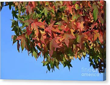 Morning Maples Canvas Print by Tracy Hall