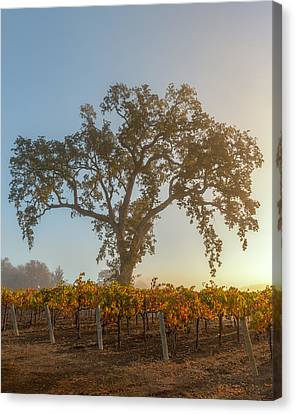 Morning Oak And Vineyard Canvas Print by Joseph Smith