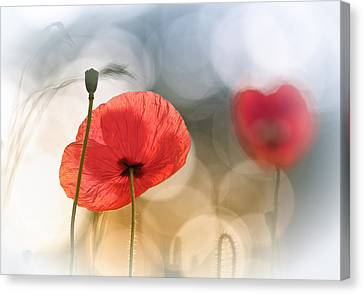 Morning Poppies Canvas Print by Steve Moore