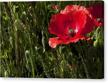 Morning Poppy Canvas Print by Svetlana Sewell