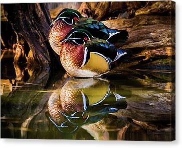 Morning Reflections - Wood Ducks Canvas Print