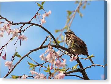 Morning Song Sparrow Canvas Print by Rosanne Jordan