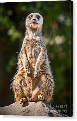 Meerkat Canvas Print - Morning Sun by Jamie Pham