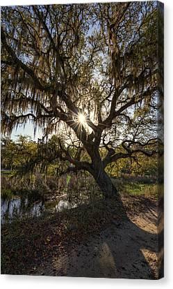 Morning Sun Through The Oak Canvas Print