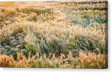 Morning Wheat Canvas Print