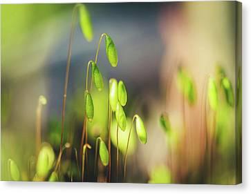 Moss Canvas Print by Cindy Grundsten