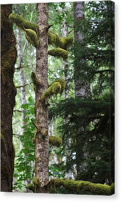 Moss-draped Trees On Tiger Mountain Wt Usa Canvas Print by Christine Till
