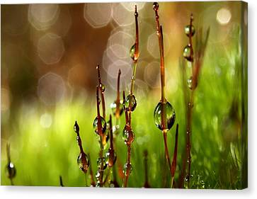Moss Sparkles Canvas Print by Sharon Johnstone
