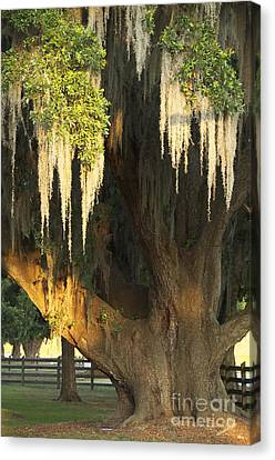 Moss Tree Canvas Print by Jeanne  Woods
