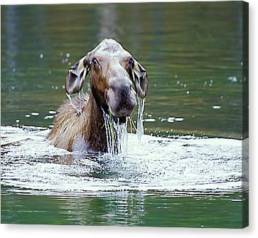 Mossy Moose Canvas Print
