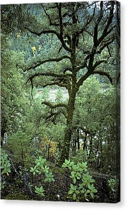 Mossy Tree On The River Canvas Print by Charlie Osborn