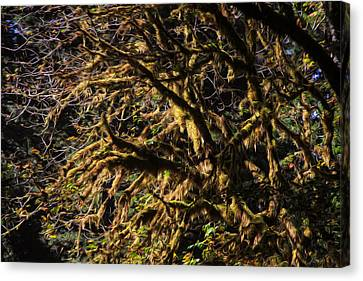 Mossy Trees Canvas Print