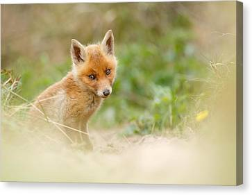 Most Beautiful Red Fox Kit In The World Canvas Print by Roeselien Raimond