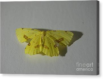 Moth On Gesso Canvas Print by The Stone Age