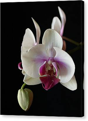 Moth Orchid 2 Canvas Print by Marna Edwards Flavell