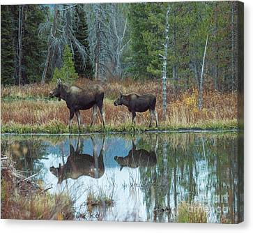 Mother And Baby Moose Reflection Canvas Print