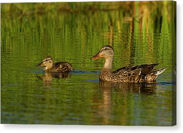 Canvas Print featuring the photograph Mother And Child Mallards by Jean Noren