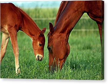 Mother And Foal 3377 H_2 Canvas Print