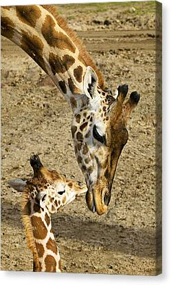 Mother Giraffe With Her Baby Canvas Print