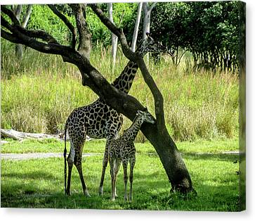 Mother Giraffe With Her Baby Canvas Print by Randy Dyer