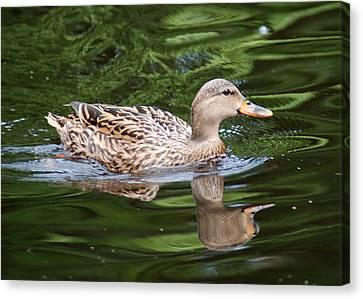 Mottled Duck Canvas Print by Christine Savino