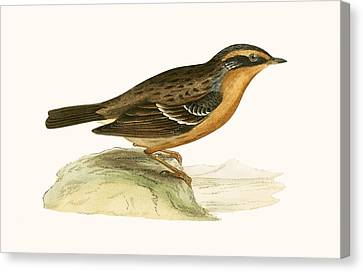 Mountain Accentor, Canvas Print by English School
