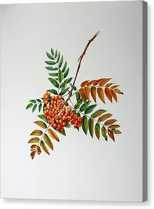 Mountain Ash  Canvas Print by Margit Sampogna