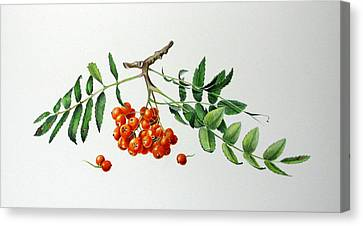 Mountain Ash With Berries  Canvas Print by Margit Sampogna