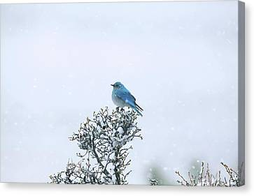 Mountain Bluebird In Snow Canvas Print by Pat Gaines
