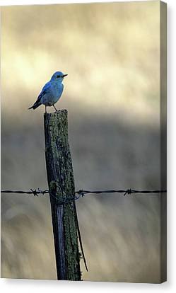 Canvas Print featuring the photograph Mountain Bluebird On Wood Fence Post by Mary Lee Dereske
