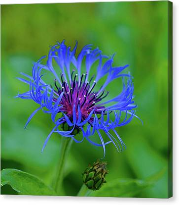 Mountain Cornflower Canvas Print