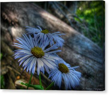 Mountain Daisies And A Downed Spruce Canvas Print